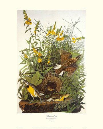 Meadow Lark by John James Audubon Pricing Limited Edition Print image