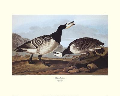 Barnacle Goose by John James Audubon Pricing Limited Edition Print image