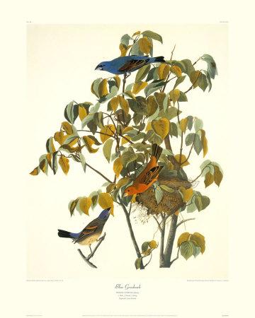 Blue Grosbeak by John James Audubon Pricing Limited Edition Print image