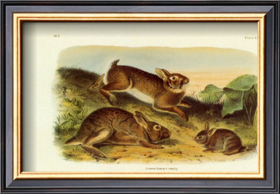 Grey Rabbit by John James Audubon Pricing Limited Edition Print image