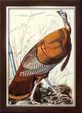 Wild Turkey by John James Audubon Pricing Limited Edition Print image