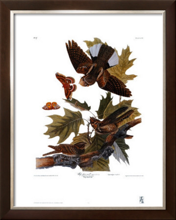 Whip-Poor-Will by John James Audubon Pricing Limited Edition Print image