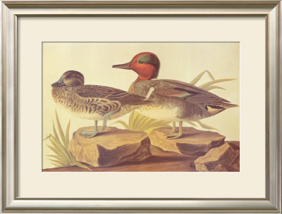 American Green Winged Teal by John James Audubon Pricing Limited Edition Print image