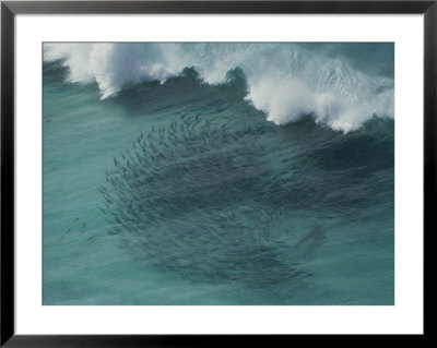 A Shark Guides Migrating Salmon Into The Shallows Off Baxter Cliffs by Sam Abell Pricing Limited Edition Print image