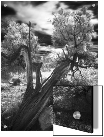 Bent Tree In The Desert, Joshua Tree National Park, California by A.D. Pricing Limited Edition Print image