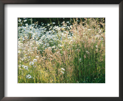 Leucanthemum Vulgare (Ox-Eye Daisies) & Wild Grasses, Wild Prairie Style Planting by Mark Bolton Pricing Limited Edition Print image