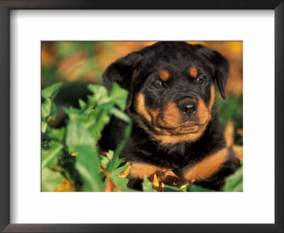 Rottweiler Puppy In Leaves by Adriano Bacchella Pricing Limited Edition Print image