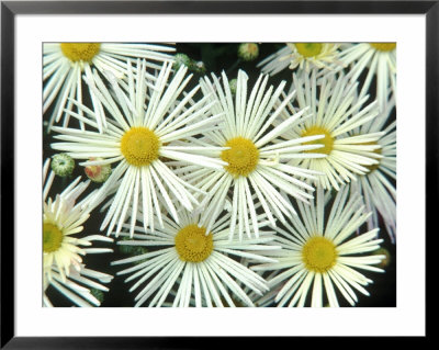 Chrysanthemum (Illusion) Garden Mums, September by Chris Burrows Pricing Limited Edition Print image