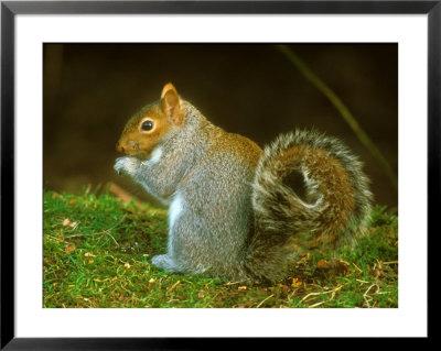 Grey Squirrel, Feeding by David Boag Pricing Limited Edition Print image