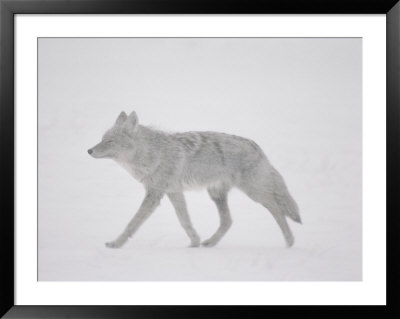 A Coyote Walks Through The Snow by Annie Griffiths Belt Pricing Limited Edition Print image