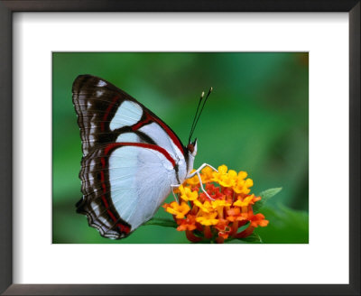 Nymphalid Butterfly, Native To The Rainforests Of Costa Rica by Tom Boyden Pricing Limited Edition Print image