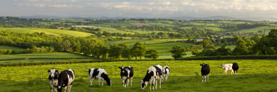 Friesian Cows Grazing In Mid Devon Countryside, England by Adam Burton Pricing Limited Edition Print image
