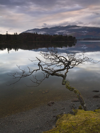 Lone Tree Stretching Over Derwent Water, Lake District National Park, Cumbria, England, Uk by Adam Burton Pricing Limited Edition Print image