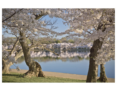 Cherry Blossoms At Tidal Basin by Cory Brodzinski Pricing Limited Edition Print image