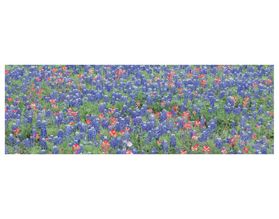 Bluebonnets 3 by Danny Burk Pricing Limited Edition Print image