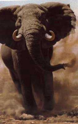 Charging Elephant by Guy Coheleach Pricing Limited Edition Print image