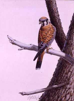 American Kestrel by Guy Coheleach Pricing Limited Edition Print image
