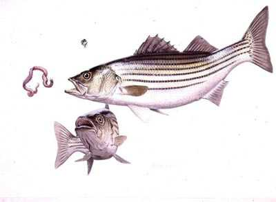 Striped Bass by Guy Coheleach Pricing Limited Edition Print image