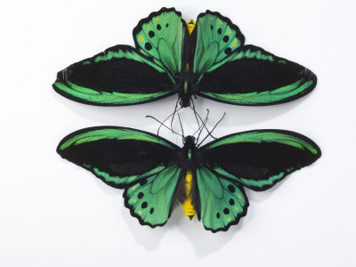 The Streamlined Wings Of Birdwing Butterflies by Robert Clark Pricing Limited Edition Print image