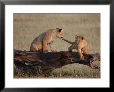 African Lion, Cubs Playing On Log, Kenya, Africa by Daniel Cox Pricing Limited Edition Print image