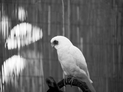 White Parrot Perched On Branch by Bob Cornelis Pricing Limited Edition Print image