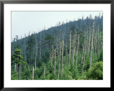 Acid Rain, Dead Conifers Near The Summit Of Mount Mitchell, North Carolina by David M. Dennis Pricing Limited Edition Print image