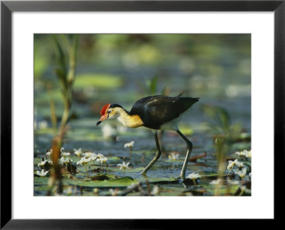 A Comb Crested Jacana Hunts For Food Among Lily Pads by Nicole Duplaix Pricing Limited Edition Print image