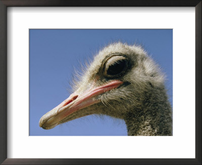 Close View Of An Ostrich by Dick Durrance Pricing Limited Edition Print image