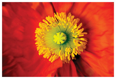 Poppy by Harold Davis Pricing Limited Edition Print image