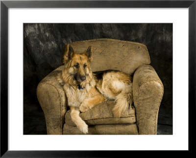 German Shepherd On Leather Chair In Studio by David Edwards Pricing Limited Edition Print image