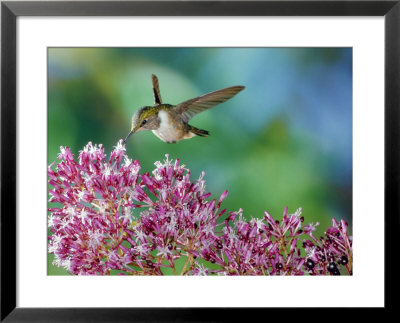 Volcano Hummingbird At Fuchsia Microphylla, Scrub And Paramo, Cerro De La Muerte, Costa Rica by Michael Fogden Pricing Limited Edition Print image