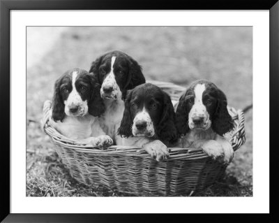 Four Large Puppies Crowded In A Basket. Owner: Browne by Thomas Fall Pricing Limited Edition Print image