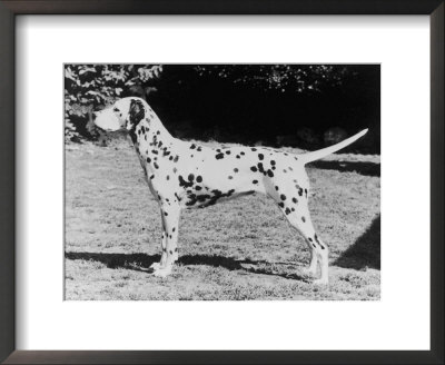 Champion Fanhill Faun Crufts Best In Show 1968 Dog Standing Side On by Thomas Fall Pricing Limited Edition Print image