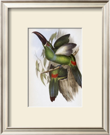 Chestnut-Billed Groove-Bill Toucan by John Gould Pricing Limited Edition Print image