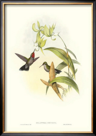 Hummingbird Iv by John Gould Pricing Limited Edition Print image