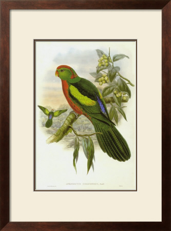 Gould Parrots Ii by John Gould Pricing Limited Edition Print image