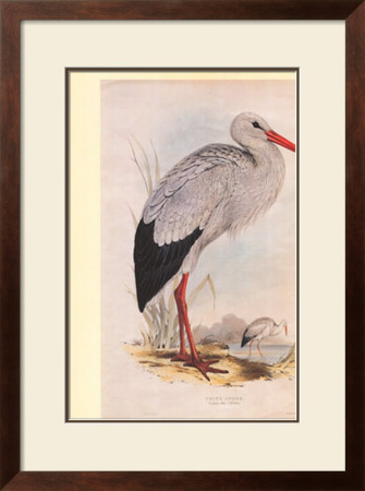 White Stork by John Gould Pricing Limited Edition Print image