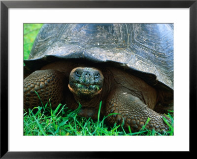 Giant Tortoise In Grassy Highlands At Steve Devine's Butterfly Ranch, Galapagos, Ecuador by Jeff Greenberg Pricing Limited Edition Print image