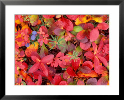 Tundra Fall Colors, Denali National Park, Alaska, Usa by Darrell Gulin Pricing Limited Edition Print image