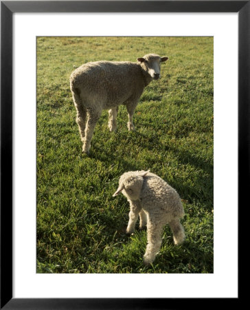 Virginia Colonial Era Breed Of Sheep, Bassett Hall by Jeff Greenberg Pricing Limited Edition Print image