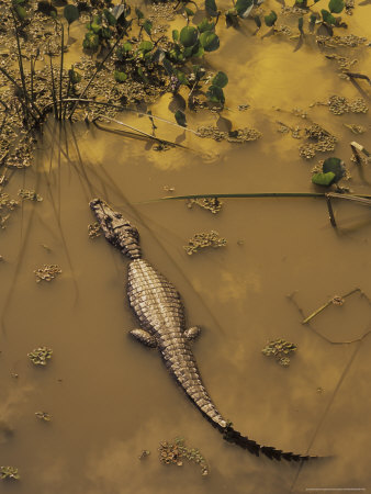 Caiman In Pool, Mato Grosso Do Sul, Pantanal, Brazil by Howie Garber Pricing Limited Edition Print image