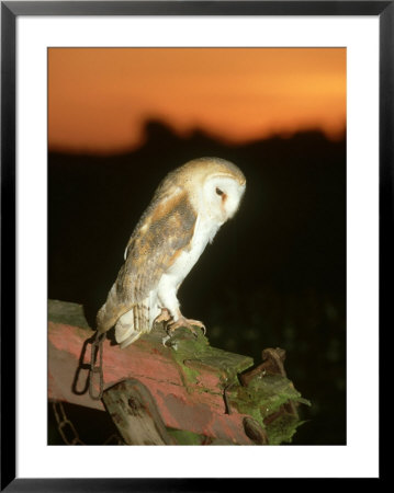 Barn Owl, Perched On Plough At Sunset by Mark Hamblin Pricing Limited Edition Print image