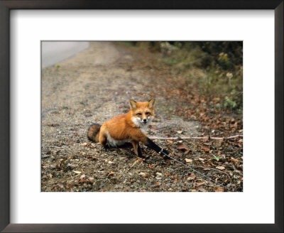 Red Fox, Caught In A Snare, Quebec, Canada by Philippe Henry Pricing Limited Edition Print image