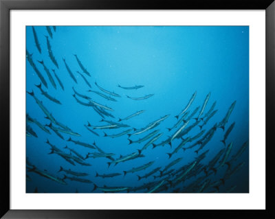 A Circling School Of Barracuda In A Blue Sea by Wolcott Henry Pricing Limited Edition Print image