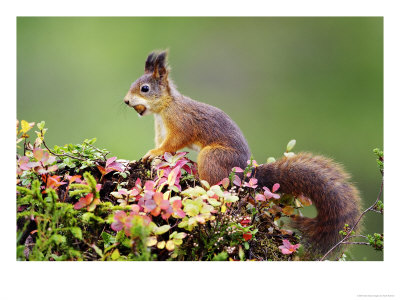 Red Squirrel, Portrait Of Adult On Fallen Log With Nut In Mouth, Norway by Mark Hamblin Pricing Limited Edition Print image