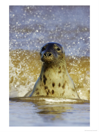 Grey Seal, Portrait Of Female Emerging From Sea, Uk by Mark Hamblin Pricing Limited Edition Print image