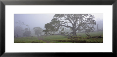 Koa Trees On A Landscape, Mauna Kea, Mana Road, Big Island, Hawaii, Usa by Panoramic Images Pricing Limited Edition Print image