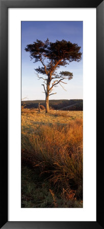Tree On A Landscape, Golden Hour, Helwath Plantation, Scarborough, North Yorkshire, England, Uk by Panoramic Images Pricing Limited Edition Print image