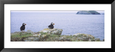 Atlantic Puffins Perching On Rocks, Maberly, Newfoundland And Labrador, Canada (Fratercula Arctic) by Panoramic Images Pricing Limited Edition Print image