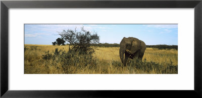 African Elephant Standing In Masai Mara National Reserve, Kenya by Panoramic Images Pricing Limited Edition Print image